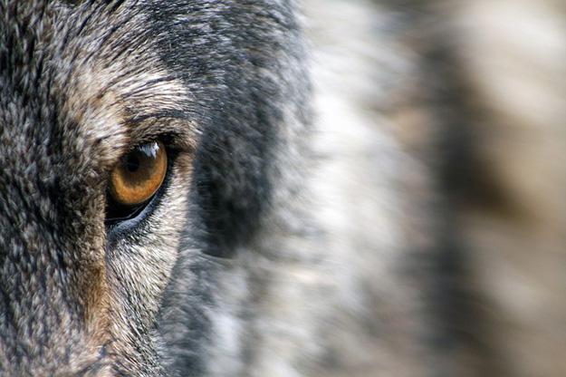 wolf-blick