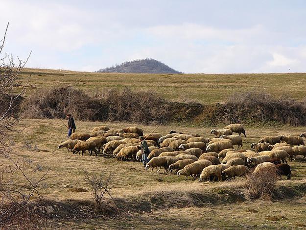 Pastor-Hirte-Schafe
