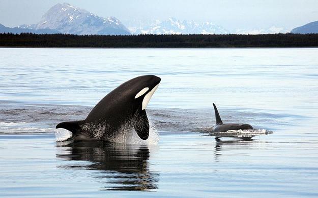 625px-Orca_Alaska